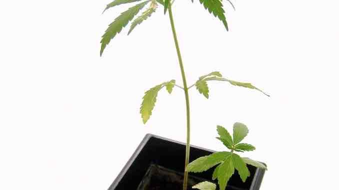 The hemp plant