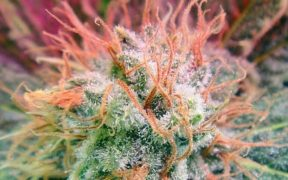 How to Increase THC When Growing Weed