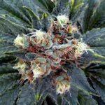 THC - addictions treatment