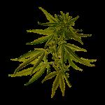 Marijuanamedicinal species