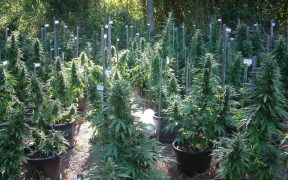 Studies on Medical Marijuana